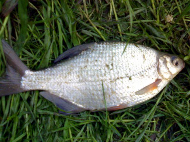 Kr�p - ryba kr�p