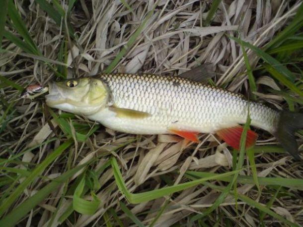 Kle� - ryba kle�