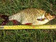 waleczna ryba