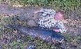 Sum z�owiony na Pogorii I o wadze 58 kg. i d�ugo�ci 183 cm. Jego g�owa wa�y�a 11 kg.