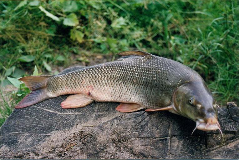 Brzana - ryba brzana