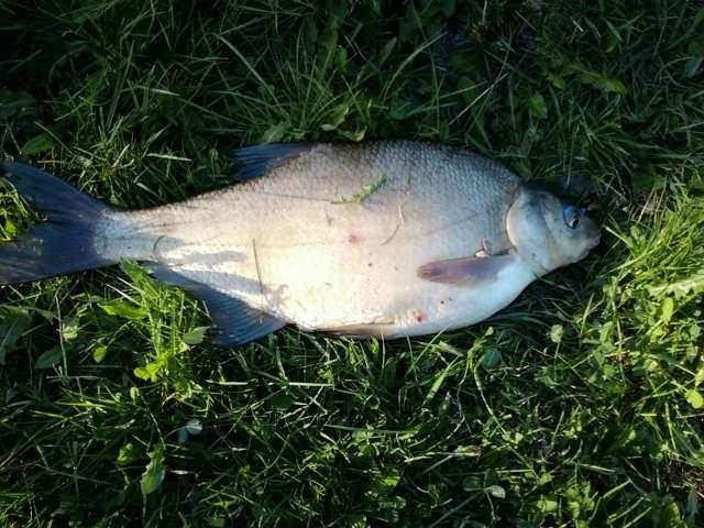 Leszcz - ryba leszcz