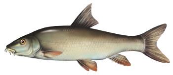 brzana, ryba, ryby, brzany, brzany ryby