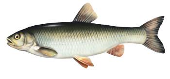 kle�, ryba, klen, ryby, klenie