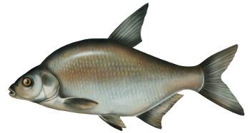 leszcz, ryby, leszcza, ryba