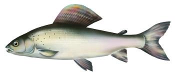 lipie�, ryby, lipien, ryba