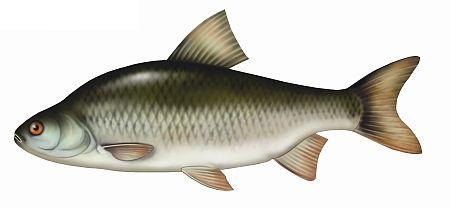 p�o�, ryby, ploc, ryba, p�ocie ryby