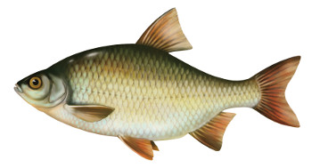 wzdr�ga, ryby, ryba, wzdr�gi ryby