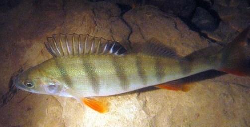 Spos�b na okonia - metody spinningowe | na rybach, zdj�cia, opinie