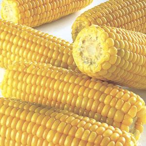 Kukurydza – wabik na bia�� ryb� - przyn�ty naturalne, zdj�cia, opinie