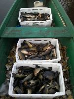 Jezioro Piwoni�skie bogatsze o 450 kg karpiowatych
