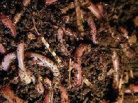 Jak zrobi� hodowl� czerwonych robak�w