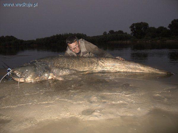 Najwi�kszy sum z�owiony w Polsce na spinning w rzekach! | rekordowy, zdj�cia, opinie