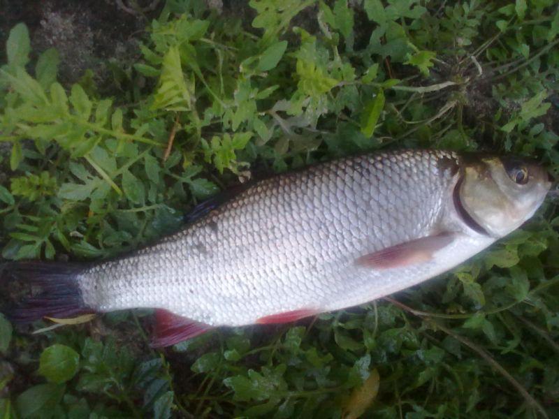 Ja� - ryba ja�